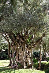 Olive Tree, Jerusalem