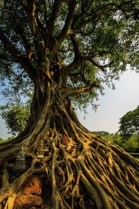 Ancestral Banyan Tree