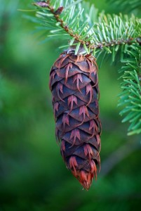 Pine Cone in Oregon
